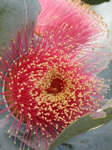 Eucalyptus macrocarpa (Mottlecah)