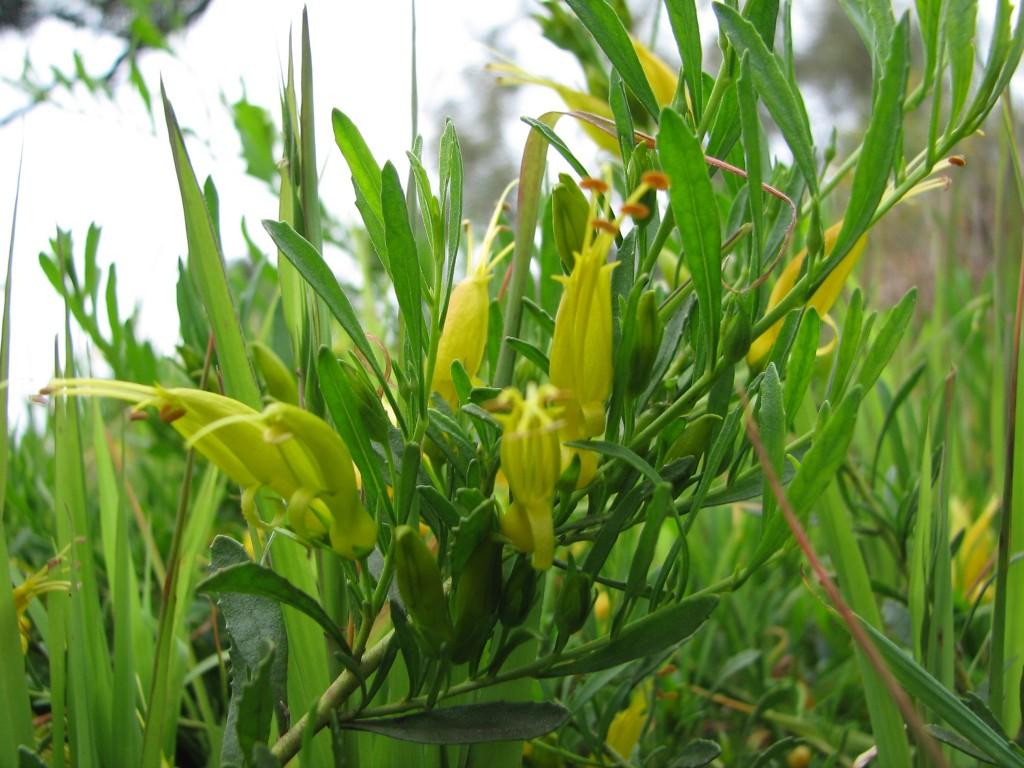 Eremophila glabra prostrate yellow form hardy plant 2 mallee eremophila glabra prostrate yellow flowered form mightylinksfo
