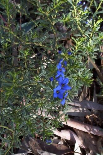 Halgania cyanea (Mallee Blue-flower)