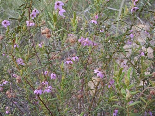 Thomasia petalocalyx  (Paper Flower)