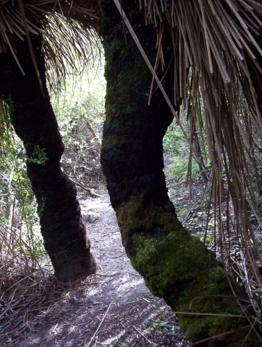 Xanthorrhoea semiplana (Yakka) with trunks