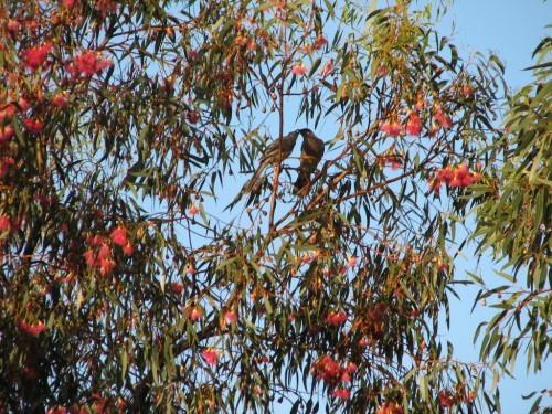 Eucalyptus leucoxylon (South Australian Blue Gum)