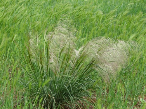 Austrostipa species (Spear Grass)