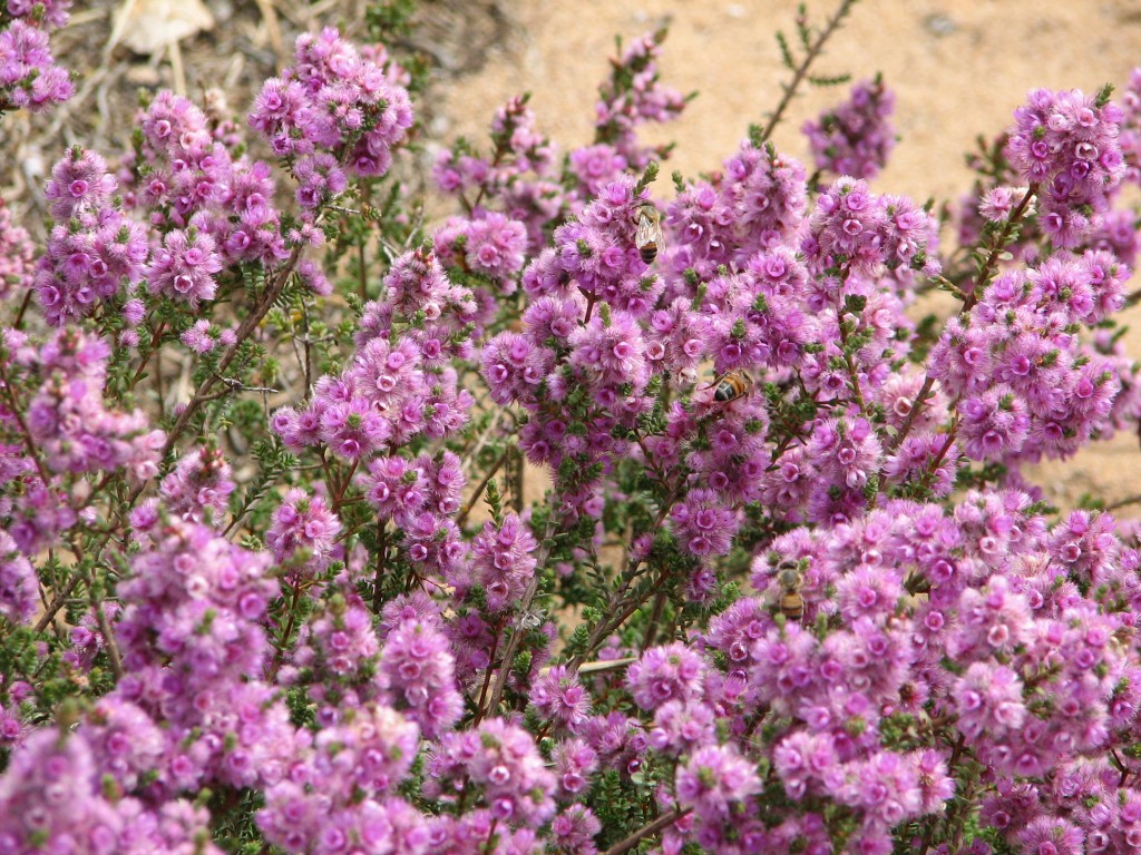More Native Shrubs Archives Mallee Native Plants Mallee Native