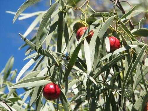 Santalum acuminatum (Wild Peach, Quandong)