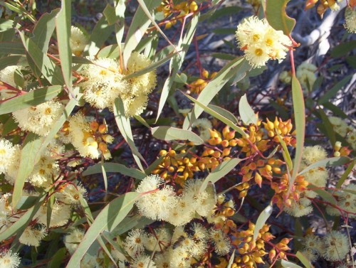 Eucalyptus socialis (Red Mallee)