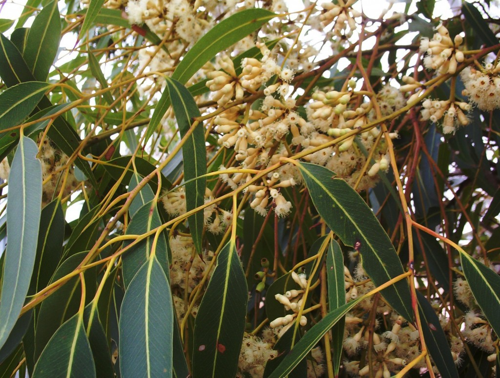 eucalyptus cladocalyx 39 nana 39 bushy sugar gum mallee native plants. Black Bedroom Furniture Sets. Home Design Ideas