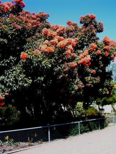 Eucalyptus ficifolia hybrid