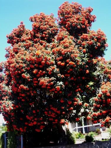 Eucalyptus ficifolia (Western Australian Flowering Gum) vermillion form
