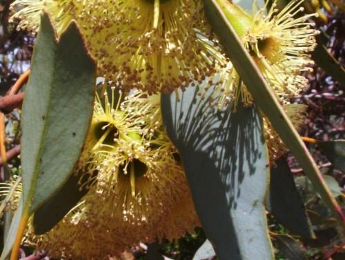Eucalyptus pimpiniana