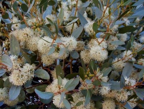 Eucalyptus platypus (Moort)
