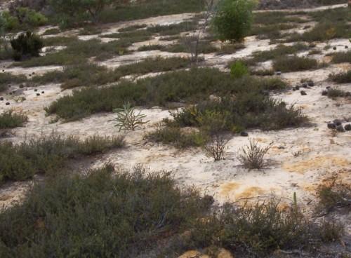 Kunzea pomifera (Muntries) Plants
