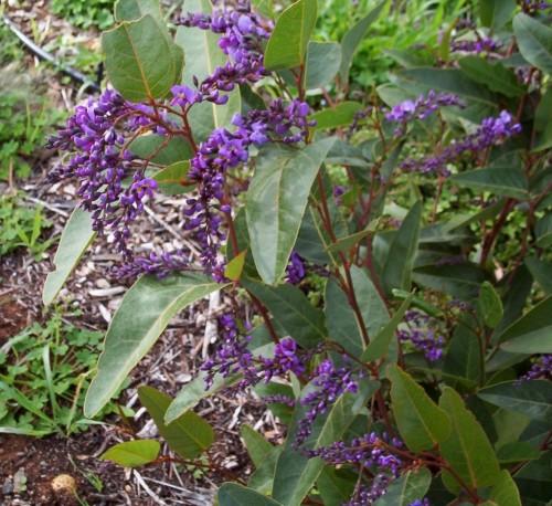 Hardenbergia violacea (purple)