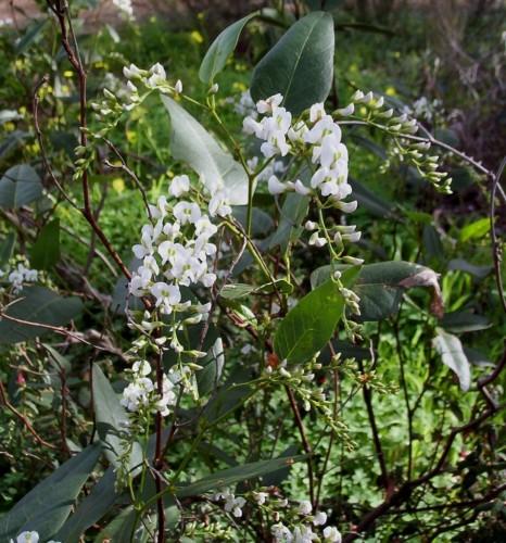 Hardenbergia violacea (white)