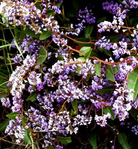 Hardenbergia violacea mauve