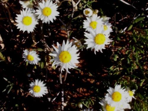Rhodanthe floribunda