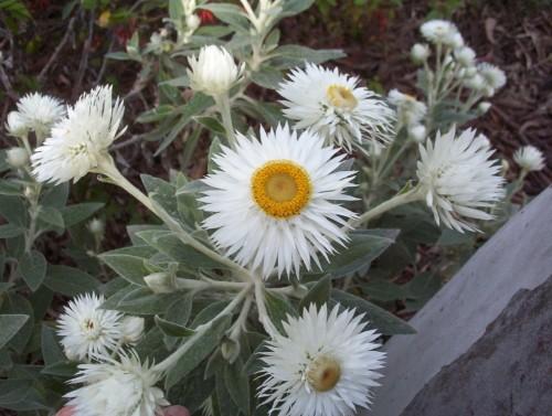 Helichrysm elatum (Tall White Everlasting)