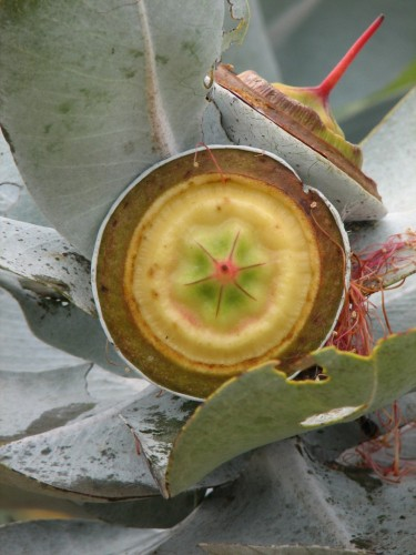 Eucalyptus macrocarpa (Mottlecah) fruit