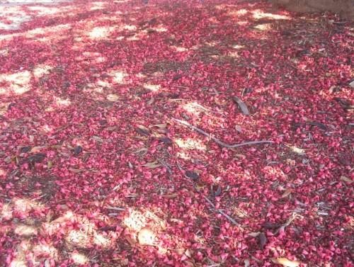 Brachychiton diversifolius (Kurrajong) blossom