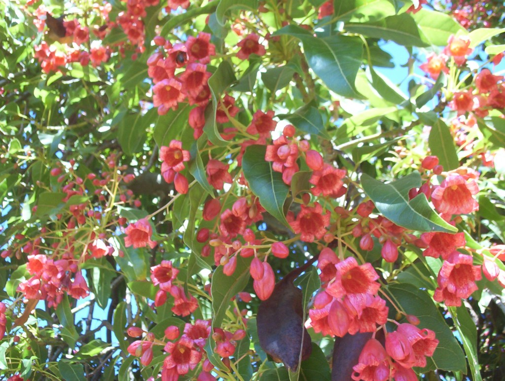 Brachychiton kurrajong species mallee native plants brachychiton diversifolius kurrajong mightylinksfo