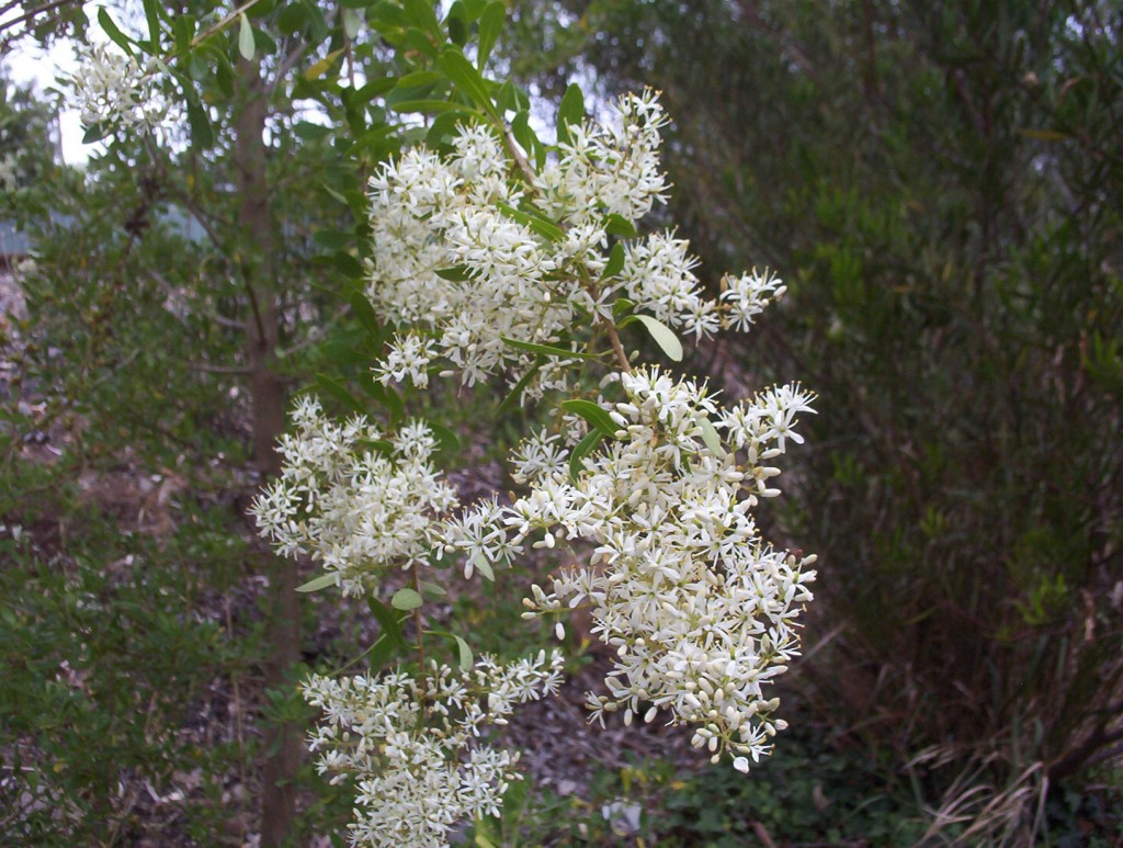 Christmas Bush Tree Australia.Bursaria Spinosa Christmas Bush Mallee Native Plants