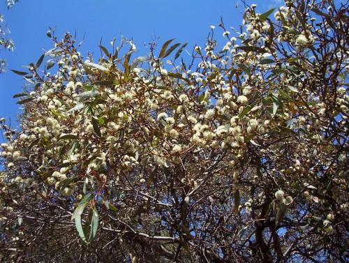 Eucalyptus phenax (White Mallee)