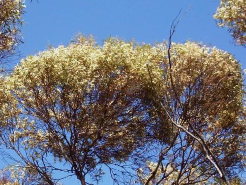 Eucalyptus gracilis (White Mallee)