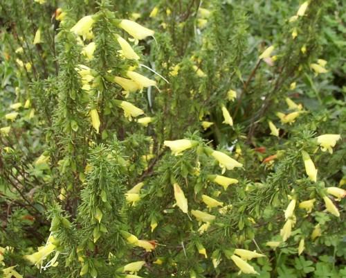 Prostanthera aspalathoides, yellow form (Mint Bush)