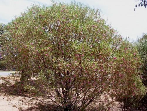 Eremophila oppositifolia x