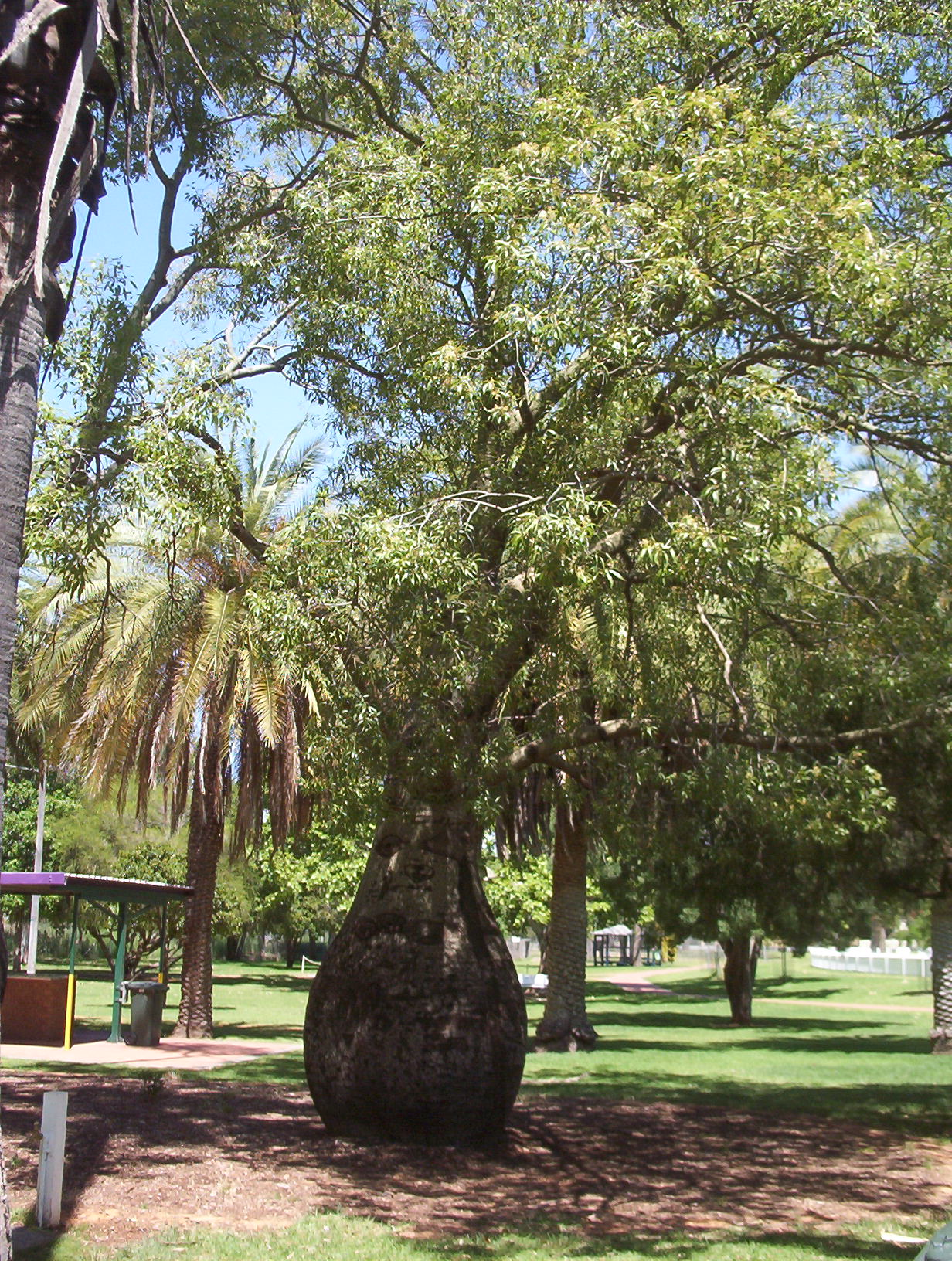 Brachychiton rupestris bottle tree mallee native plants