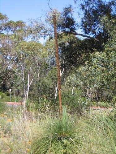 Xanthorrhoea glauca ssp. angustifolia