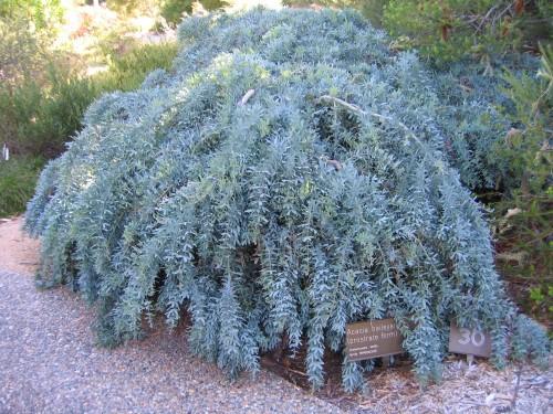 Acacia baileyana prostrate form (Cootamundra Wattle)