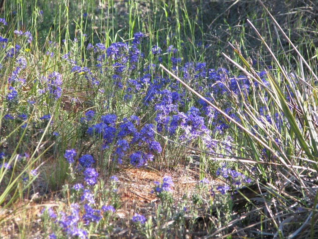Hardy australian native plants archives mallee native plants mallee native plants - Hardy houseplants ...