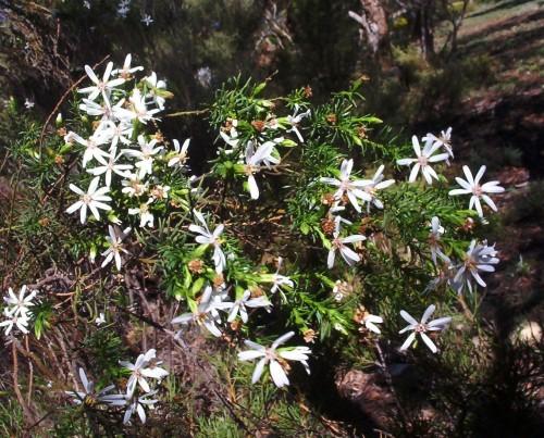 Olearia passerinoides (Daisy Bush)