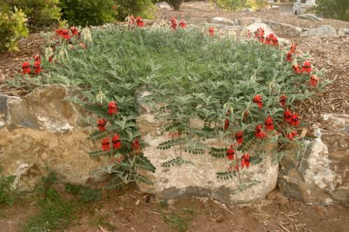 Swaisona formosa (Sturt's Desert Pea) Photo M Tranent