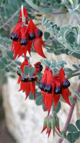 Swainsona formosa (Sturt's Desert Pea) Photo M Tranent