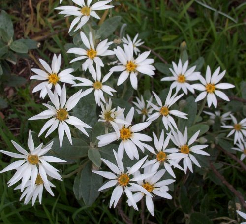 Olearia pannosa beginning to flower in my garden