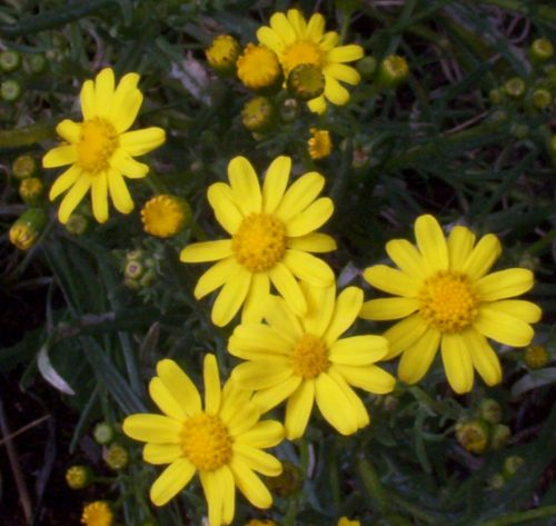 Senecio lautus flowering in our small piece of scrub.